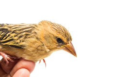 Bird  in human hand Stock Photo