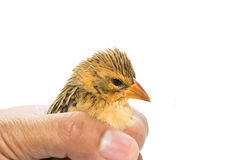 Bird  in human hand. Isolated on white Royalty Free Stock Image
