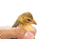 Bird  in human hand Royalty Free Stock Image