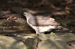 Bird hunters. Crested Goshawk;A bird predators that eat small animals for food. Drink water to stay cool in the air Royalty Free Stock Photos
