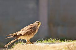 Bird hunters. Crested Goshawk; A bird predators that eat small animals such as birds, mice, lizards, snakes Stock Image