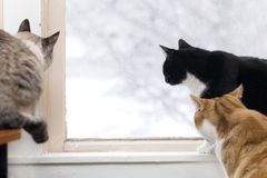Bird hunting. Three cats watch the birds outside on a snowy day royalty free stock image