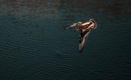 Bird hunting fish Stock Images