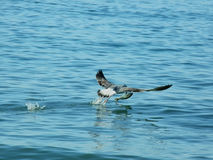 Bird hunting a fish. In the sea Stock Image