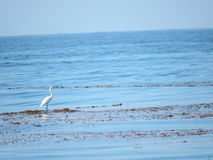 Bird Hunting for Food at Beach. A white bird stands on seaweed as it hunts for food in the ocean Royalty Free Stock Photo