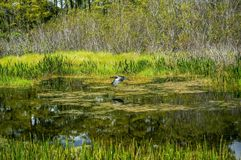 bird hunting in the marsh royalty free stock image