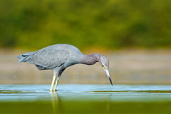 Bird hunting in the water. Little Blue Heron, Egretta caerulea, in the water, Mexico. Bird in the beautiful green river water. Wil stock image