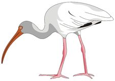 Bird ibis Stock Images