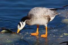 Bird on the ice Stock Image