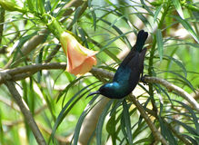 Purple sunbird (male). ID : Purple sunbird.nWe all love flowers because of their beauty and fragrance. We also like sunbirds bacause they are beautiful royalty free stock photography