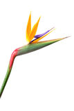 Bird if paradise Stock Images