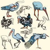 Bird illustration series Royalty Free Stock Photography