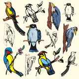Bird illustration series Royalty Free Stock Image