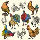 Bird illustration series Royalty Free Stock Photo