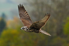 Free Bird In Fly. Flying Falcon With Forest In The Background. Lanner Falcon, Bird Of Prey, Animal In The Nature Habitat, Germany. Bird Royalty Free Stock Image - 75950996