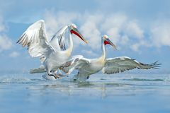 Free Bird In The Water. Dalmatian Pelican, Pelecanus Crispus, Landing In Lake Kerkini, Greece. Pelican With Open Wings. Wildlife Scene Stock Photo - 159583340