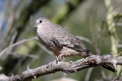 Bird - Inca Dove Stock Photos