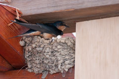 Bird incubating at nest Royalty Free Stock Image