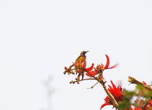 Bird on Indian Coral Tree, Variegated Tiger's claw, Erythrina variegata, red flowers with blue sky background Stock Image