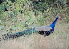 The Indian peafowl. Bird The Indian Peafowl or blue peafowl. Binomial name Pavo cristatus. Location Manas National Park India stock photography
