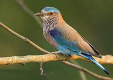 Bird. INDIAN ROLLER  FROM KABINI NAGARHOLE NATIONAL PARK Royalty Free Stock Photos