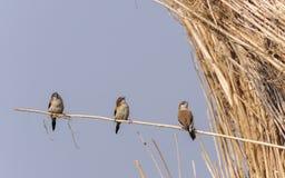 Bird , Indian Silverbill - Lonchura malabarica Stock Photo