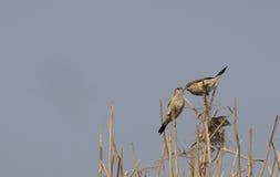 Bird , Indian Silverbill - Lonchura malabarica Royalty Free Stock Photography