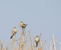 Bird , Indian Silverbill - Lonchura malabarica Stock Image