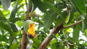 Bird and insect eating mango stock footage