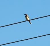 Bird with insect Royalty Free Stock Photography
