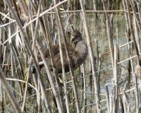 Bird inside leaves of reeds Stock Photos