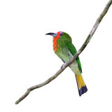 Bird isolated on branch. Royalty Free Stock Photo