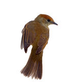 Bird isolated on a white background (Black-cap) Royalty Free Stock Photography