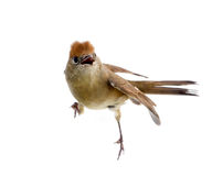 Bird isolated on a white background (Black-cap) Royalty Free Stock Photo