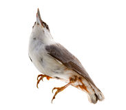 Bird isolated on a white background. nutcracker Royalty Free Stock Photography