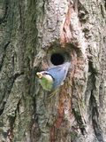 A bird of the bird with its prey climbs out of the tree hollow. Surviving in the wild. Plumage is blue-yellow. Feathered of the te. Mperate climate of Europe Stock Images