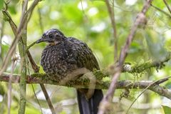Bird. Jacuguaçu or Jacuaçu between the vegetation of the Itatiaia National Park in Rio de Janeiro Royalty Free Stock Photos