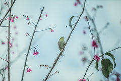 The bird japanese white-eye and Cherry blossoms.  stock photos