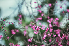 The bird japanese white-eye and Cherry blossoms.  stock photo