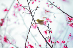 The bird japanese white-eye and Cherry blossoms.  stock image