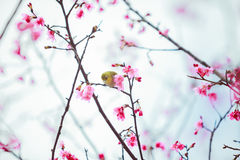The bird japanese white-eye and Cherry blossoms.  royalty free stock photo