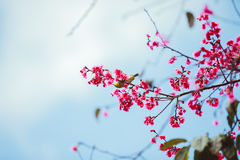 The bird japanese white-eye and Cherry blossoms.  royalty free stock photography