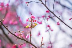 The bird japanese white-eye and Cherry blossoms.  stock photography