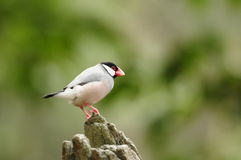 Bird --- java sparrow. Java sparrow is endangered species. this sparrow is now living in Edward Youde Aviary at Hong Kong Park. the picture shows the bird royalty free stock photo