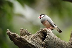 Bird --- java sparrow Stock Image