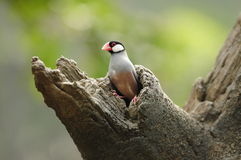Bird --- java sparrow. Java sparrow is endangered species. this sparrow is now living in Edward Youde Aviary at Hong Kong Park. the picture shows the bird coming stock images