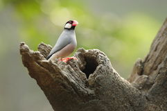 Bird --- java sparrow. Java sparrow is endangered species. this sparrow is now living in Edward Youde Aviary at Hong Kong Park. the picture shows the bird stock images