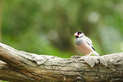 Bird --- java sparrow Stock Photos