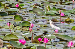 Bird ( javan pond heron ) in Thailand. Bird ( javan pond heron ) in the lake of pink water lily Royalty Free Stock Photos