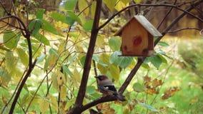 Bird the jay in the bird feeder. Bird jay in the wooden birdhouse of Sokolniki Park in Moscow stock video